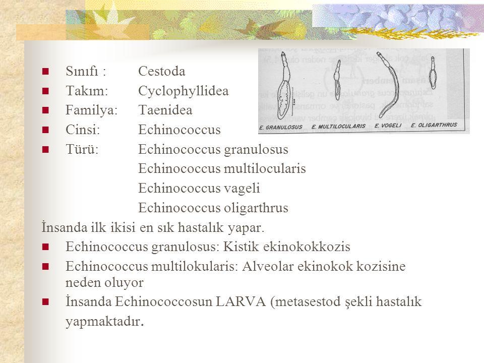 Sınıfı :Cestoda Takım:Cyclophyllidea Familya:Taenidea Cinsi:Echinococcus Türü:Echinococcus granulosus Echinococcus multilocularis Echinococcus vageli