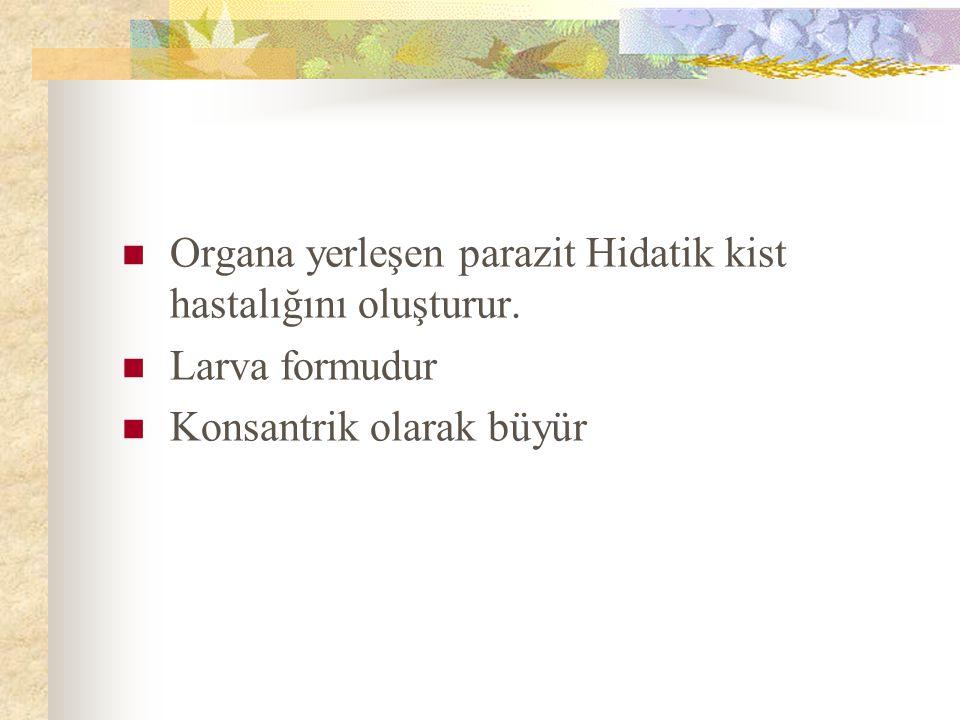 HİDATİK KİSTİN YAPISI Üç tabakadan oluşur Perikist (adventisya): Parazite ait değildir.