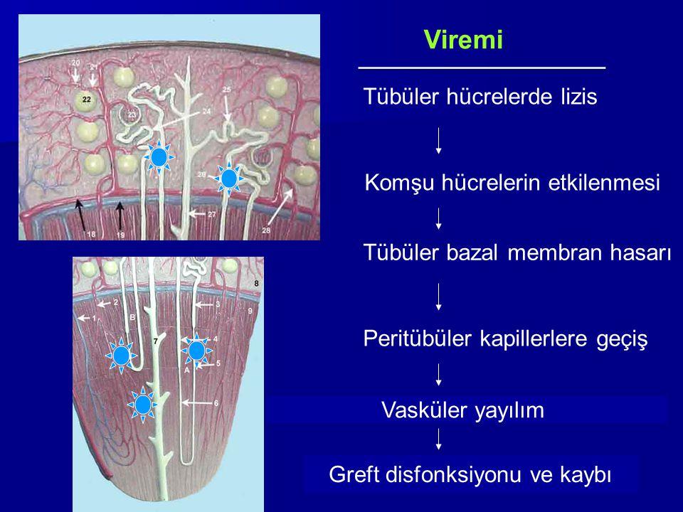 Viremi Tübüler hücrelerde lizis Komşu hücrelerin etkilenmesi Tübüler bazal membran hasarı Peritübüler kapillerlere geçiş Vasküler yayılım Greft disfon