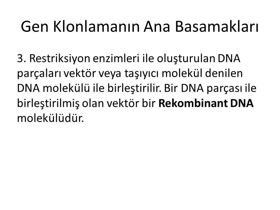 Gen Klonlamanın Ana Basamakları 3. Restriksiyon enzimleri ile oluşturulan DNA parçaları vektör veya taşıyıcı molekül denilen DNA molekülü ile birleşti