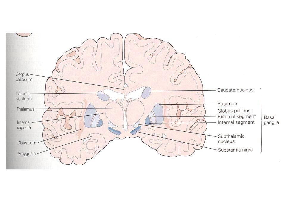 Motor Yollar İnen yollar: Doğrudan yaptırıcı, uygulatıcı yollar –Kortikospinal –Kortikopontin –Kortikobulber Geri dönen yollar: Kontrol edici ve modülatör işlev görürler –Kortiko-bazal ganglia-talamo-kortikal yol –Kortiko-serebellar-talamo-kortikal yol Bu iki ana yol birbirine paralel ve birbirinden bağımsız olarak organizedir, kendi içlerinde de bağımsız, paralel alt devreleri vardır