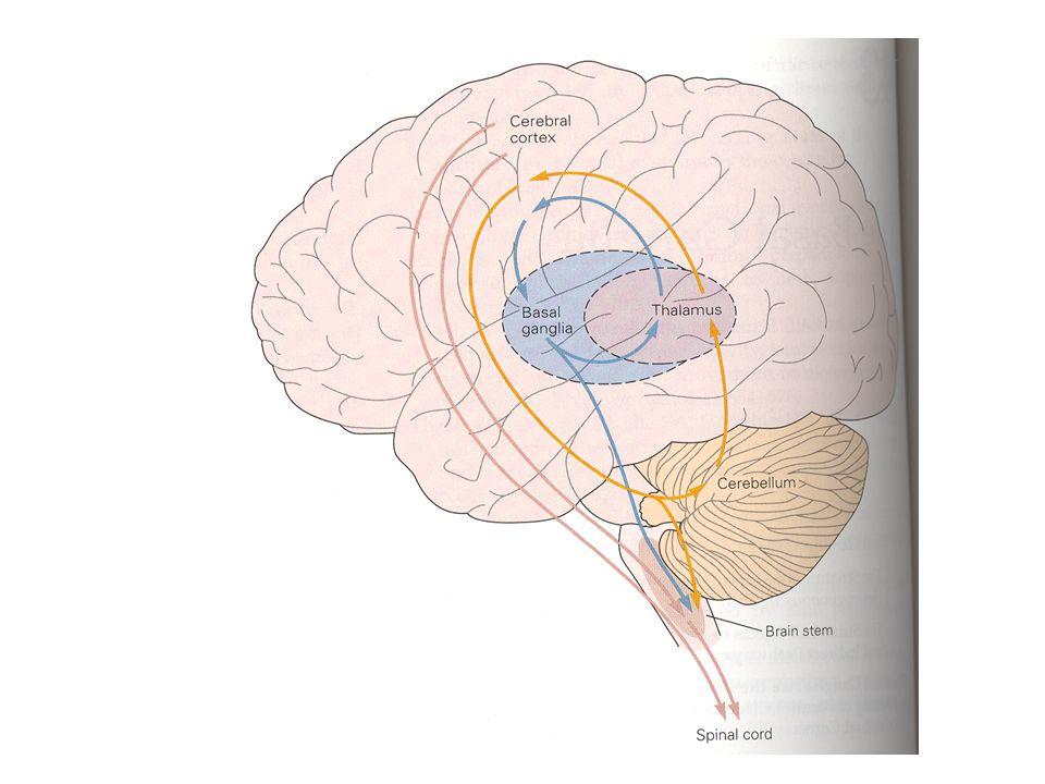 Bazal Ganglia Motor, kognitif ve davranışsal işlevleri vardır Bazal gangliayı oluşturan yapılar içinde birbirine paralel, ancak birbirinden bağımsız olarak organize olmuş devrelerdir (kortiko-subkortikal devreler) –Paralel devreler içindeki bilgi akışı, bilgi alıp verdikleri bölgeler farklıdır –İskeleto-motor, okulomotor, prefrontal ve limbik Bu devrelerin her biri serebral korteksin farklı bölgelerinden bilgi alırlar, bazal ganglia içinde farklı bağlantı yolları izledikten ve bilgi işleme tabi tutulduktan sonra sonra talamus üzerinden tekrar bilgi aldıkları bölgeye bilgi yollarlar
