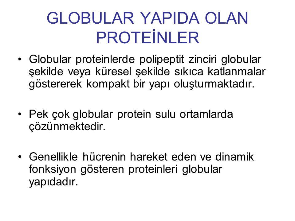 GLOBULAR YAPIDA OLAN PROTEİNLER Globular proteinlerde polipeptit zinciri globular şekilde veya küresel şekilde sıkıca katlanmalar göstererek kompakt b