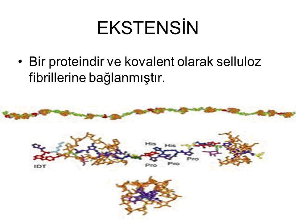 EKSTENSİN Bir proteindir ve kovalent olarak selluloz fibrillerine bağlanmıştır.