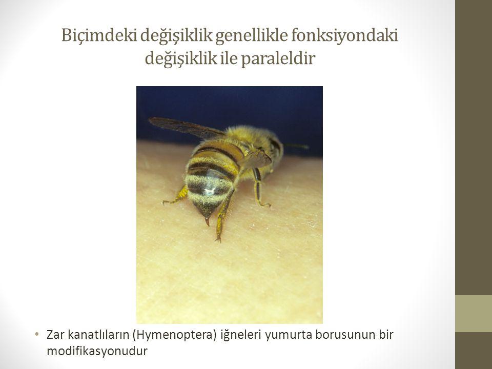 Biçimdeki değişiklik genellikle fonksiyondaki değişiklik ile paraleldir Zar kanatlıların (Hymenoptera) iğneleri yumurta borusunun bir modifikasyonudur