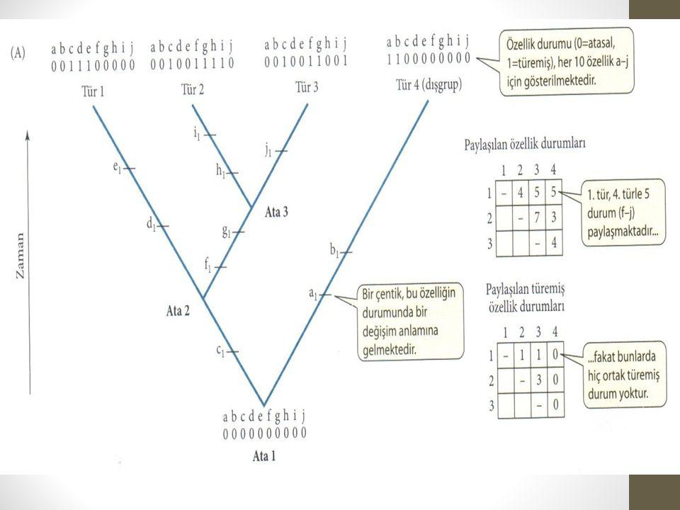 Filogeniyi bulmada güçlükler Evrim hızının farklı olması Homoplasi: Bir özelliğin iki veya daha fazla kere birbirinden bağımsız bir biçimde evrimleşmesi Homoplasi benzeştirici (convergent) evrime yol açar Evrimsel geri dönüş