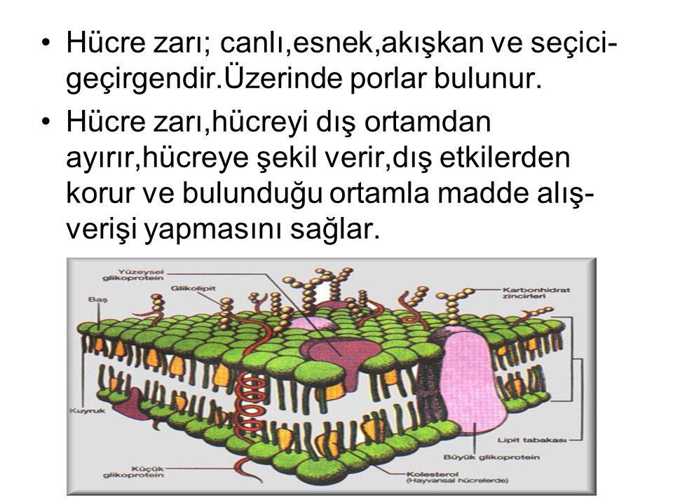 Ali DAĞDEVİREN- www.fendosyasi.com Hücre zarı; canlı,esnek,akışkan ve seçici- geçirgendir.Üzerinde porlar bulunur. Hücre zarı,hücreyi dış ortamdan ayı