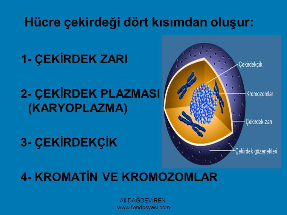 Ali DAĞDEVİREN- www.fendosyasi.com Hücre çekirdeği dört kısımdan oluşur: 1- ÇEKİRDEK ZARI 2- ÇEKİRDEK PLAZMASI (KARYOPLAZMA) 3- ÇEKİRDEKÇİK 4- KROMATİ