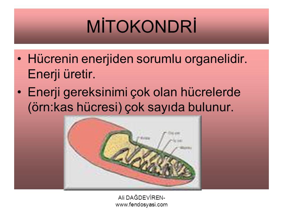 MİTOKONDRİ Hücrenin enerjiden sorumlu organelidir. Enerji üretir. Enerji gereksinimi çok olan hücrelerde (örn:kas hücresi) çok sayıda bulunur.
