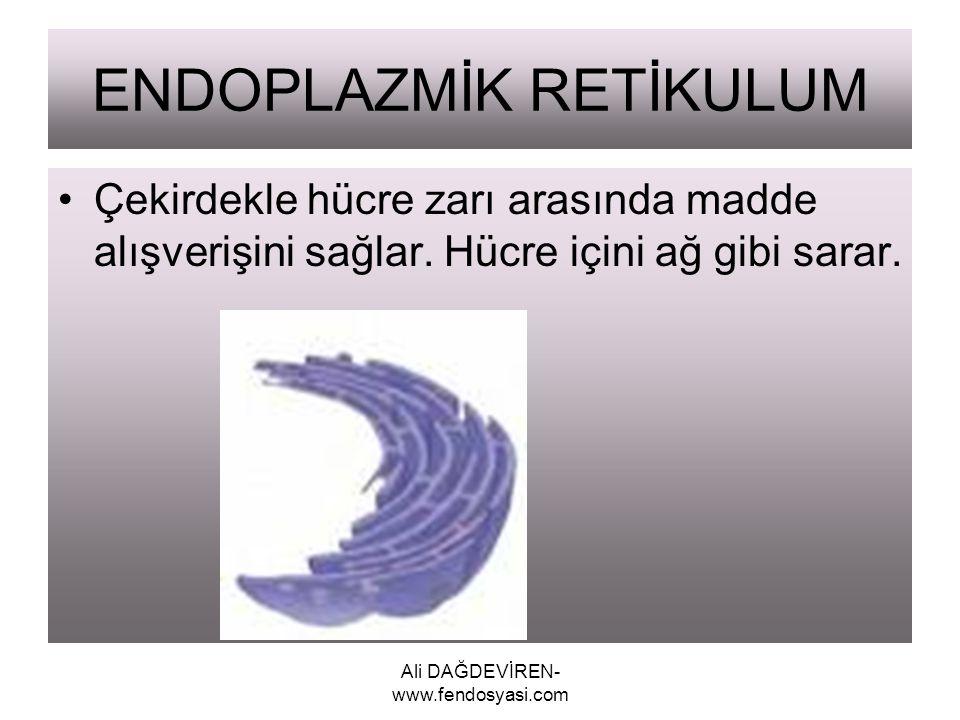 Ali DAĞDEVİREN- www.fendosyasi.com ENDOPLAZMİK RETİKULUM Çekirdekle hücre zarı arasında madde alışverişini sağlar. Hücre içini ağ gibi sarar.