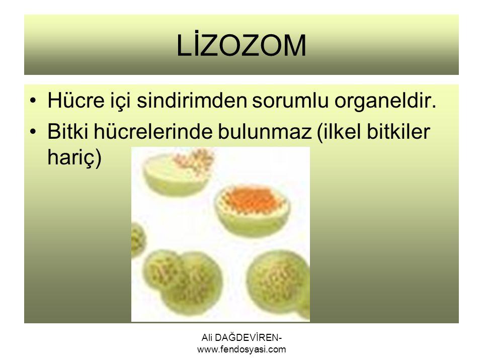 Ali DAĞDEVİREN- www.fendosyasi.com LİZOZOM Hücre içi sindirimden sorumlu organeldir. Bitki hücrelerinde bulunmaz (ilkel bitkiler hariç)