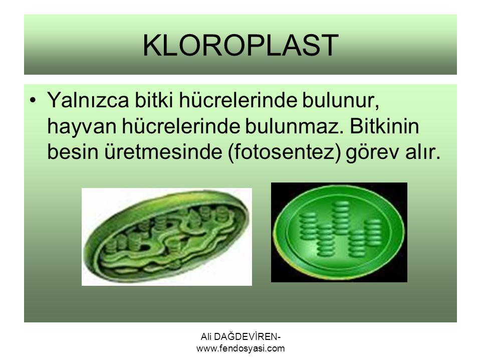 Ali DAĞDEVİREN- www.fendosyasi.com KLOROPLAST Yalnızca bitki hücrelerinde bulunur, hayvan hücrelerinde bulunmaz. Bitkinin besin üretmesinde (fotosente