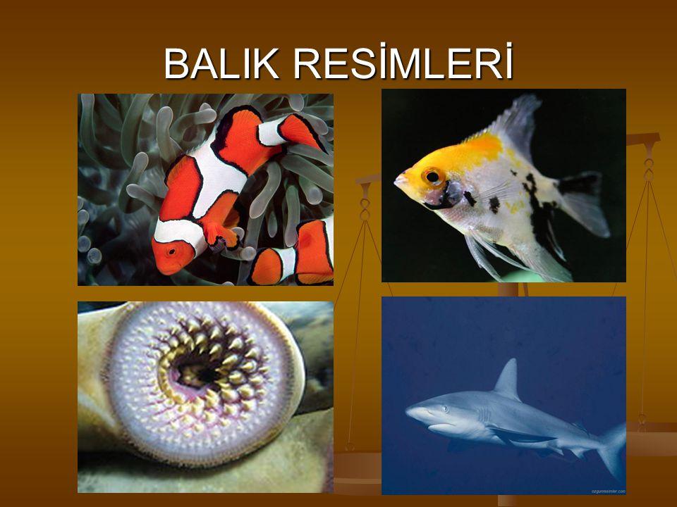 KEMİKLİ BALIKLAR Kimik yapılı bir iskelete,yüzme keselerine ve pullara sahiptirler. Yüzme kesesi balığın su içindeki konumunu belirler. Derilerindeki