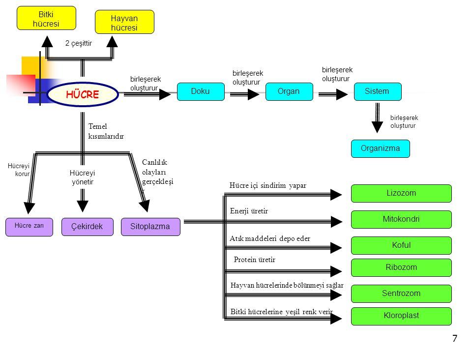 7 Bitki hücresi Hayvan hücresi Organizma SistemOrganDoku HÜCRE Temel kısımlarıdır ÇekirdekSitoplazma Hücre zarı birleşerek oluşturur birleşerek oluşturur birleşerek oluşturur birleşerek oluşturur 2 çeşittir Canlılık olayları gerçekleşi r Hücreyi korur Hücreyi yönetir Enerji üretir Protein üretir Hücre içi sindirim yapar Atık maddeleri depo eder Hayvan hücrelerinde bölünmeyi sağlar Bitki hücrelerine yeşil renk verir Mitokondri Ribozom Lizozom Koful Sentrozom Kloroplast
