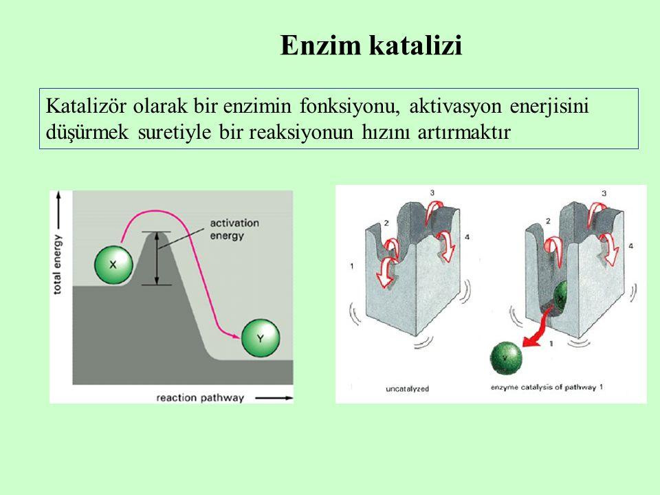 Enzim katalizi Katalizör olarak bir enzimin fonksiyonu, aktivasyon enerjisini düşürmek suretiyle bir reaksiyonun hızını artırmaktır