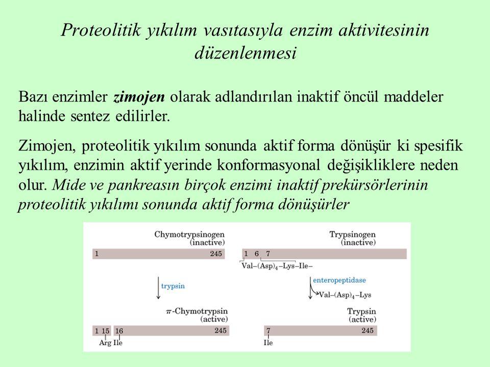 Proteolitik yıkılım vasıtasıyla enzim aktivitesinin düzenlenmesi Bazı enzimler zimojen olarak adlandırılan inaktif öncül maddeler halinde sentez edilirler.