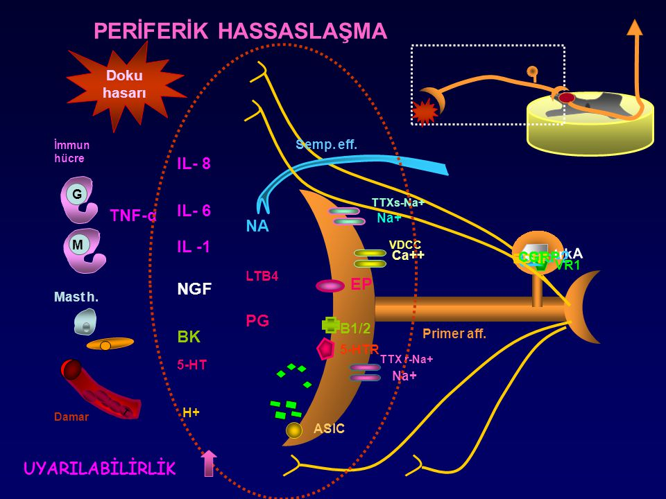 NGF ASIC TTX r-Na+ PERİFERİK HASSASLAŞMA BK Damar G Mast h. IL -1 IL- 6 IL- 8 H+ Doku hasarı PG M TNF-α İmmun hücre T B1/2 trkA 5-HT 5-HTR LTB4 α-2 SP