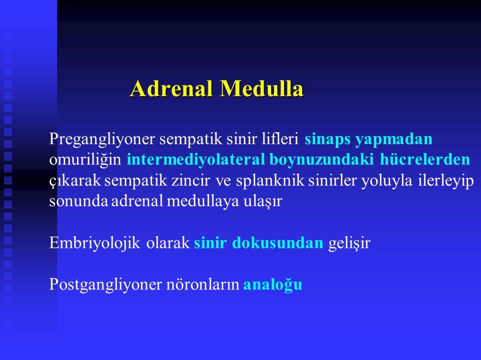 Adrenal Medulla Adrenal Medulla Pregangliyoner sempatik sinir lifleri sinaps yapmadan omuriliğin intermediyolateral boynuzundaki hücrelerden çıkarak sempatik zincir ve splanknik sinirler yoluyla ilerleyip sonunda adrenal medullaya ulaşır Embriyolojik olarak sinir dokusundan gelişir Postgangliyoner nöronların analoğu
