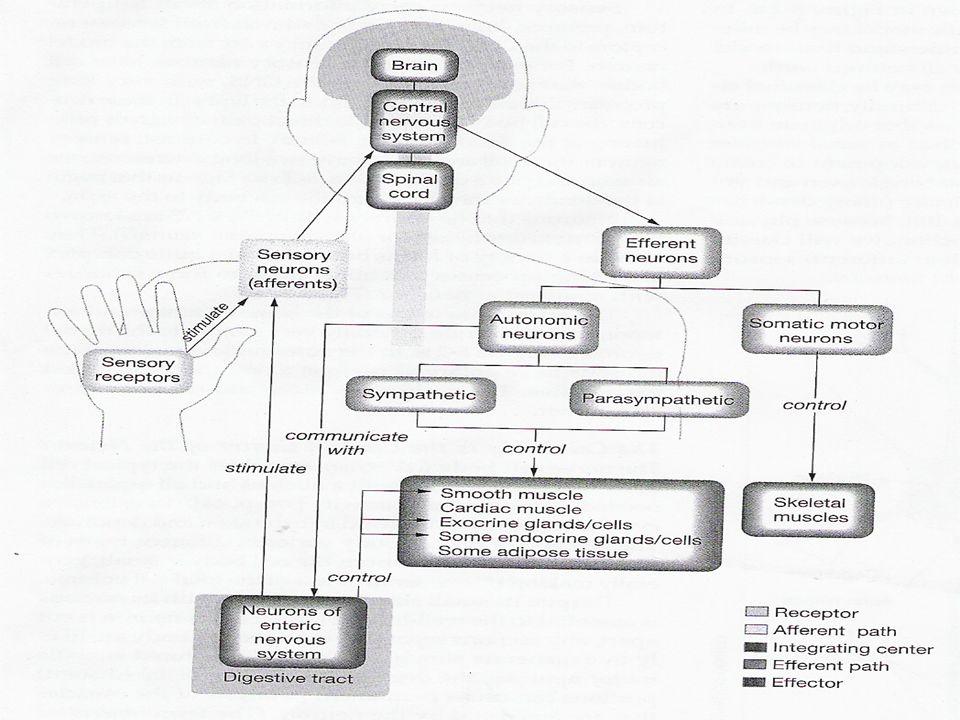 Visseral reseptörler afferent otonom yol MSS efferent yol MSS efferent yol visseral organlar visseral organlar