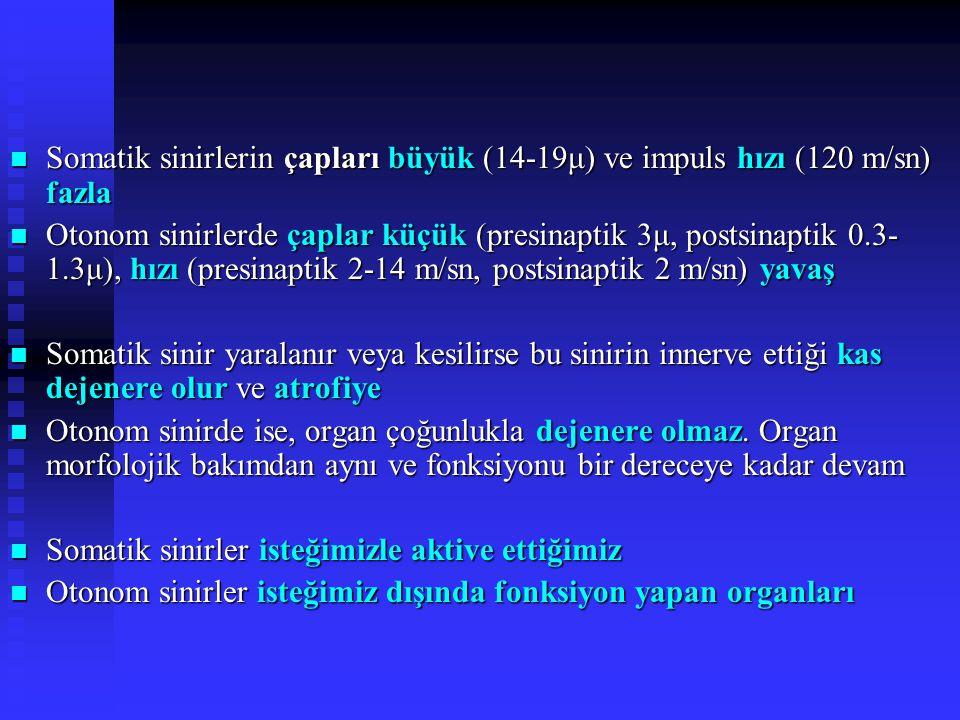Somatik sinirlerin çapları büyük (14-19μ) ve impuls hızı (120 m/sn) fazla Somatik sinirlerin çapları büyük (14-19μ) ve impuls hızı (120 m/sn) fazla Otonom sinirlerde çaplar küçük (presinaptik 3μ, postsinaptik 0.3- 1.3μ), hızı (presinaptik 2-14 m/sn, postsinaptik 2 m/sn) yavaş Otonom sinirlerde çaplar küçük (presinaptik 3μ, postsinaptik 0.3- 1.3μ), hızı (presinaptik 2-14 m/sn, postsinaptik 2 m/sn) yavaş Somatik sinir yaralanır veya kesilirse bu sinirin innerve ettiği kas dejenere olur ve atrofiye Somatik sinir yaralanır veya kesilirse bu sinirin innerve ettiği kas dejenere olur ve atrofiye Otonom sinirde ise, organ çoğunlukla dejenere olmaz.