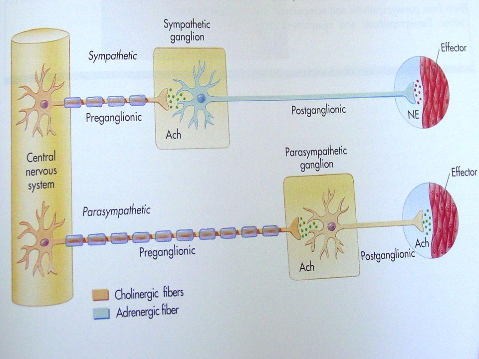 Organ Back-Shu Noktaları ve Dermatom Otonom Liflerin Lokalizasyonu Segmental Dağılımı Lokalizasyonu Segmental Dağılımı Akc.