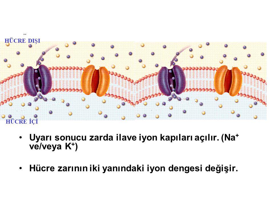 Uyarı zarın hangi noktasına yapılmış ise : Zarın o kısmında İstirahat membran potansiyeli değişir.