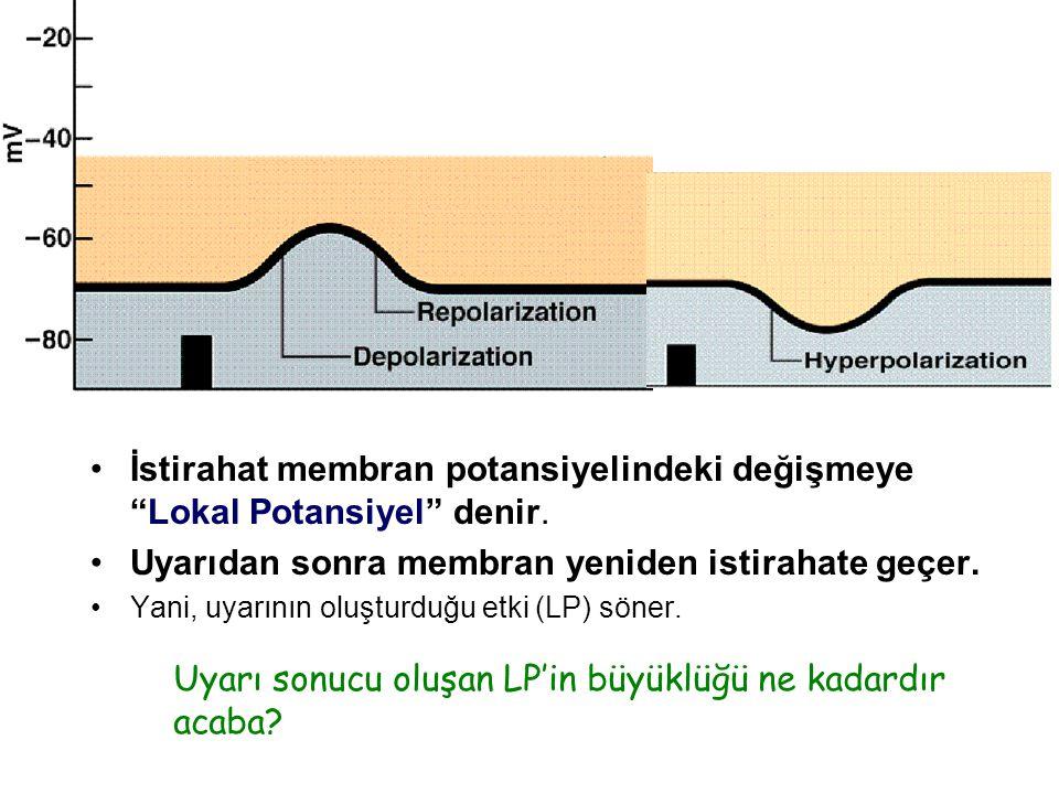Uyarı sonucu oluşan LP acaba istirahat potansiyeli düzeyinden ne kadar uzaklaşır.