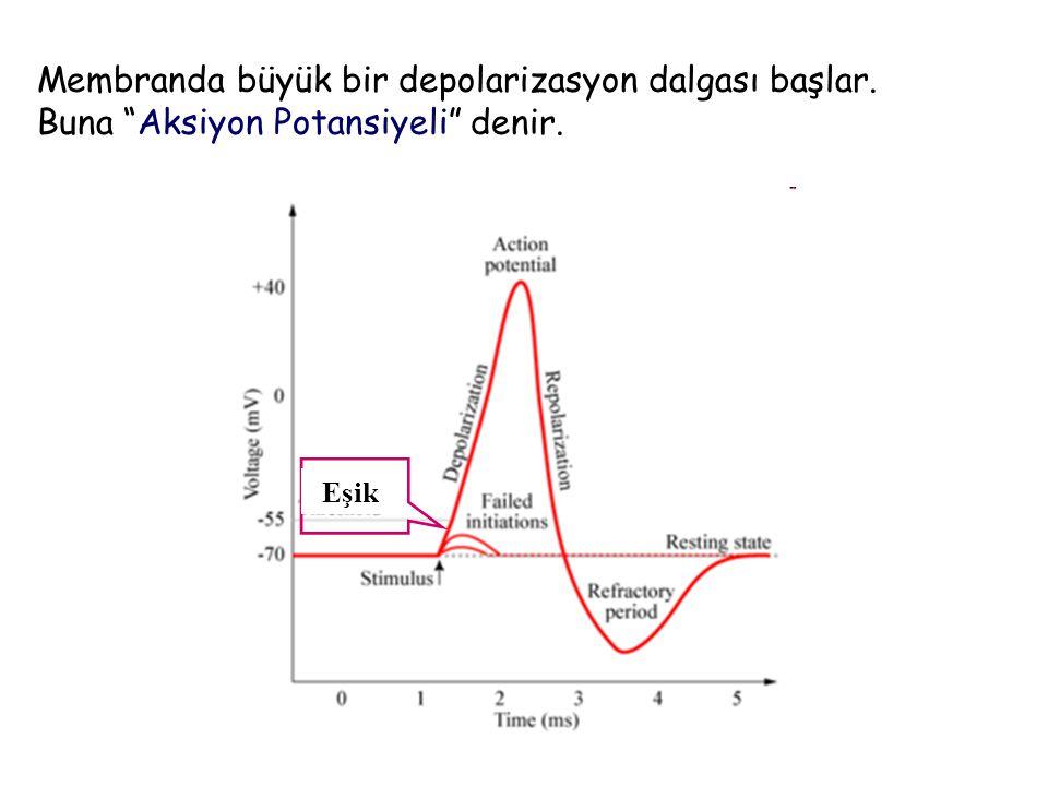 Aksiyon Potansiyeli, aktif bir nöronda zar boyunca her tarafa yayılan bir elektriksel dalgalanmadır.