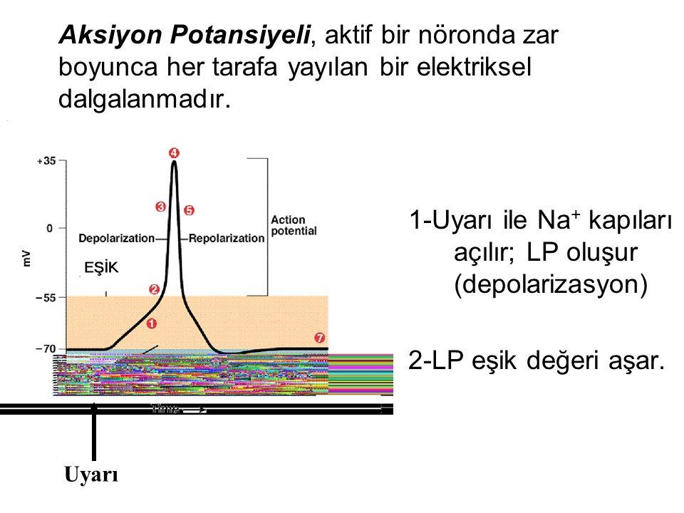 3-Voltaja bağlı Na + kapıları açılır (1 msn).Hücre içine büyük miktarda Na + girer.