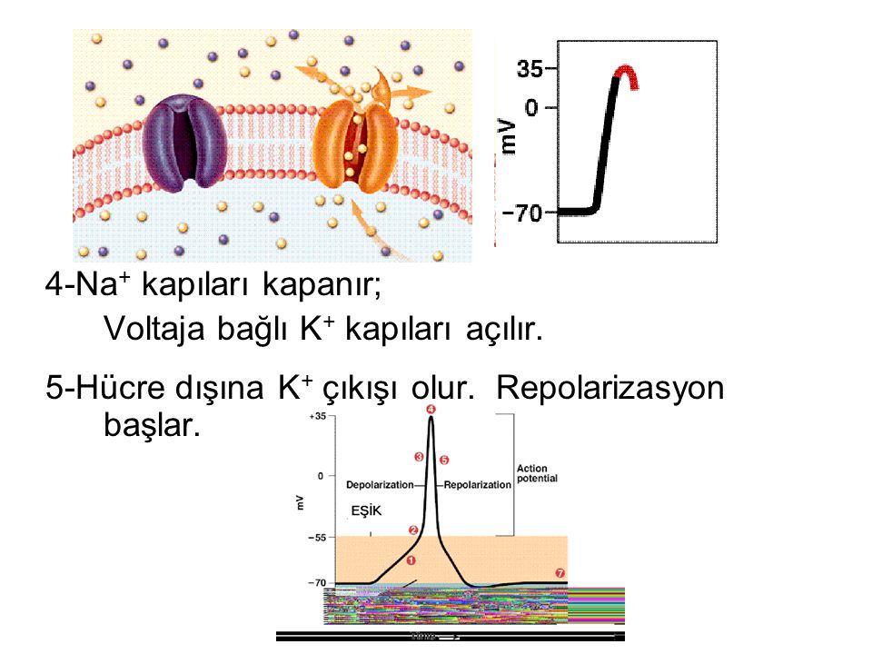 6-Voltaj düşünce K + kapıları kapanır (geç kapanır= Hiperpolarizasyon) 7- Na-K ATPaz pompası ile hücre istirahat potansiyeline döner.