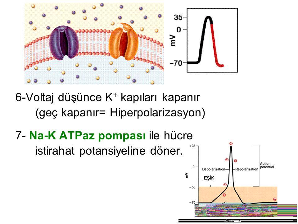 Aksiyon Potansiyeli nöronda nasıl ilerler.