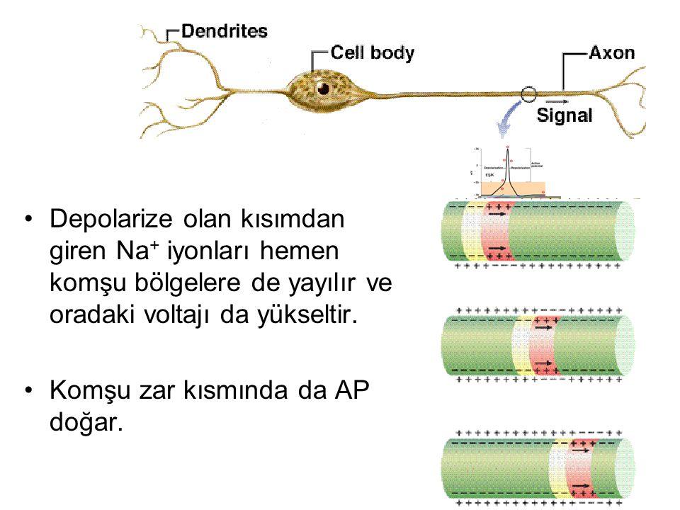 Depolarize olan kısımdan giren Na + iyonları hemen komşu bölgelere de yayılır ve oradaki voltajı da yükseltir. Komşu zar kısmında da AP doğar.
