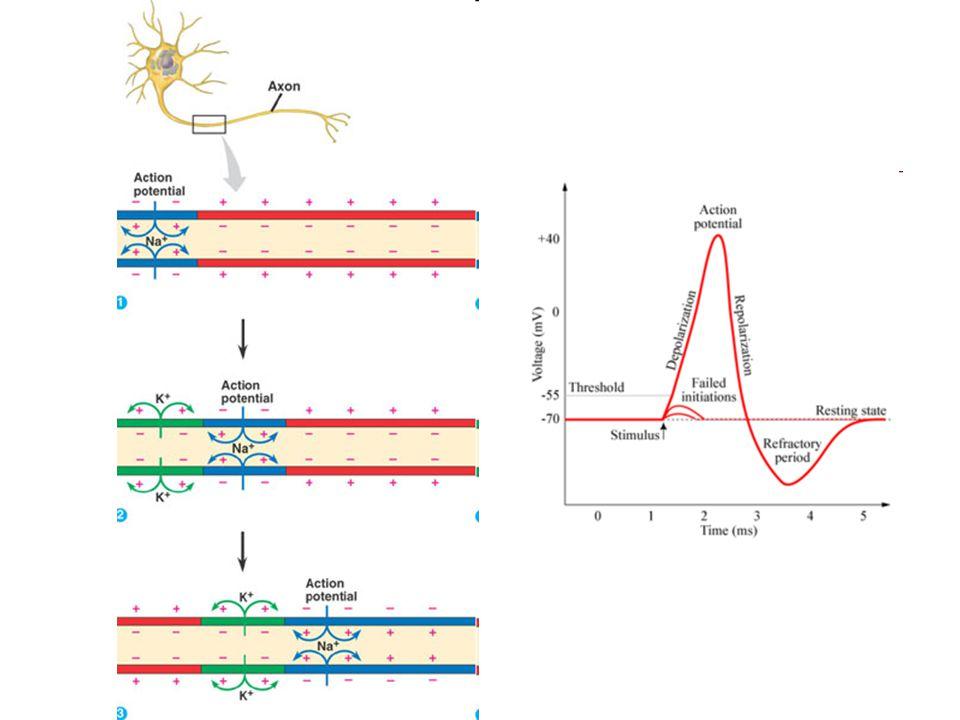 Miyelinli bir nöronda Aksiyon Potansiyeli nasıl ilerler?