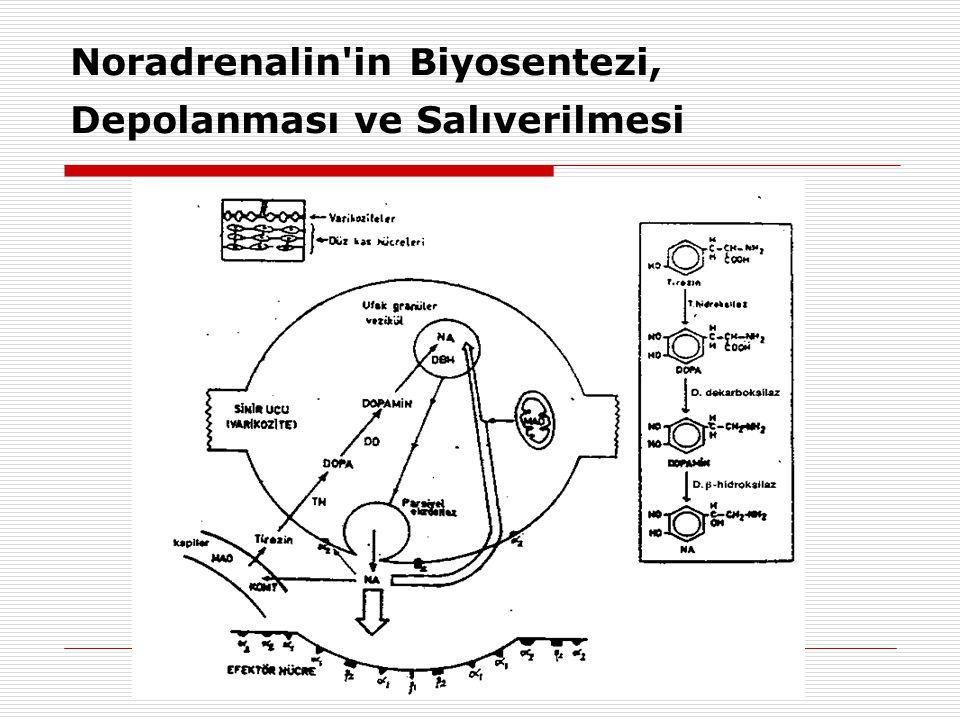 Noradrenalin'in Biyosentezi, Depolanması ve Salıverilmesi