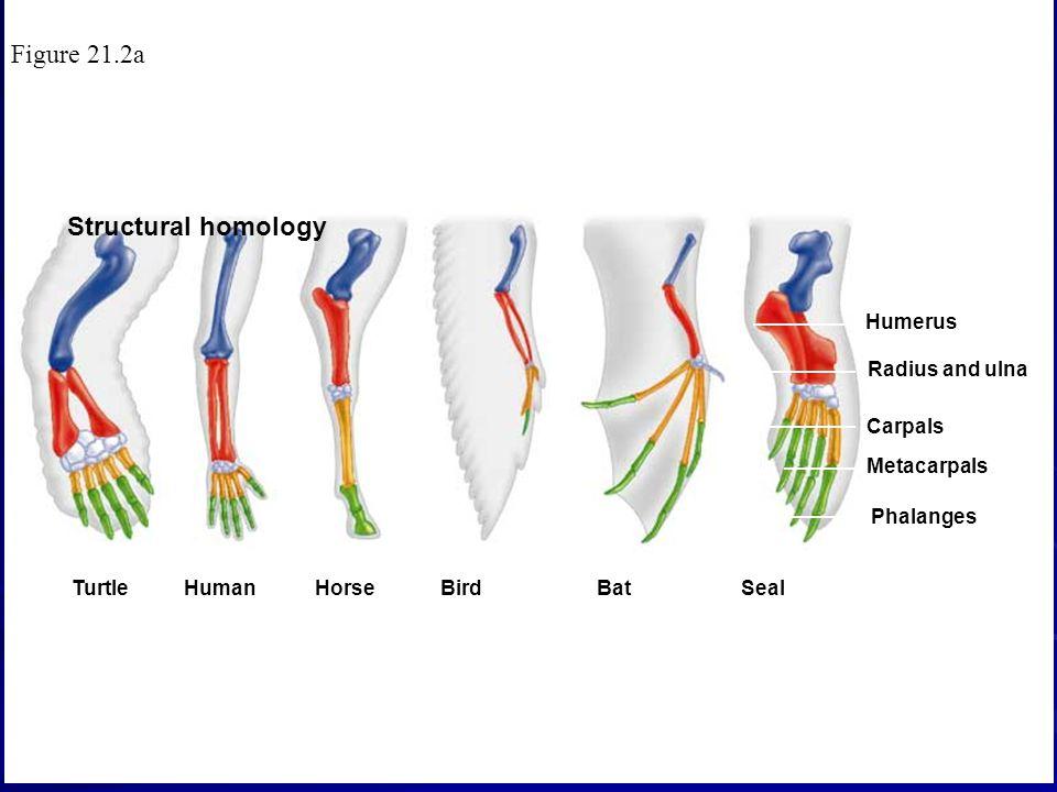 Structural homology TurtleHumanHorse BirdBat Seal Humerus Radius and ulna Carpals Metacarpals Phalanges Figure 21.2a