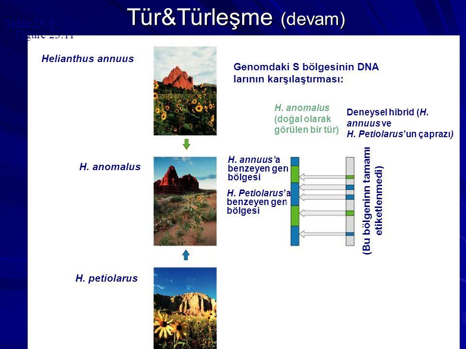 Table 23.1 H. anomalus H. petiolarus H. annuus'a benzeyen gen bölgesi H. Petiolarus'a benzeyen gen bölgesi Genomdaki S bölgesinin DNA larının karşılaş