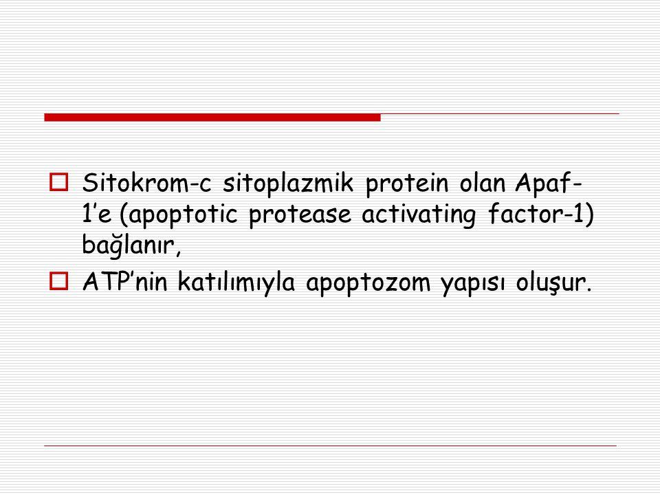  Sitokrom-c sitoplazmik protein olan Apaf- 1'e (apoptotic protease activating factor-1) bağlanır,  ATP'nin katılımıyla apoptozom yapısı oluşur.