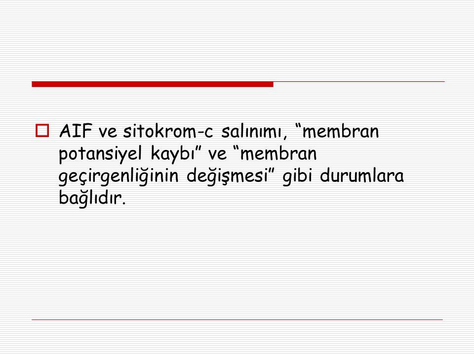 """ AIF ve sitokrom-c salınımı, """"membran potansiyel kaybı"""" ve """"membran geçirgenliğinin değişmesi"""" gibi durumlara bağlıdır."""