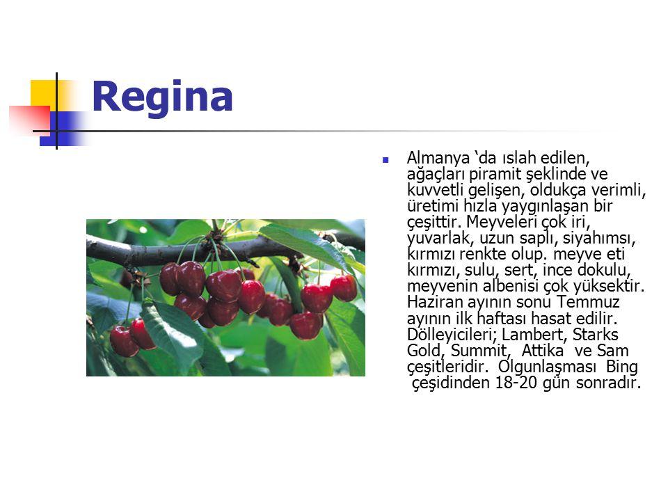 Regina Almanya 'da ıslah edilen, ağaçları piramit şeklinde ve kuvvetli gelişen, oldukça verimli, üretimi hızla yaygınlaşan bir çeşittir.