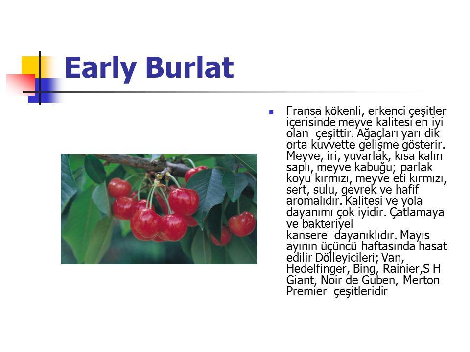 Early Burlat Fransa kökenli, erkenci çeşitler içerisinde meyve kalitesi en iyi olan çeşittir.