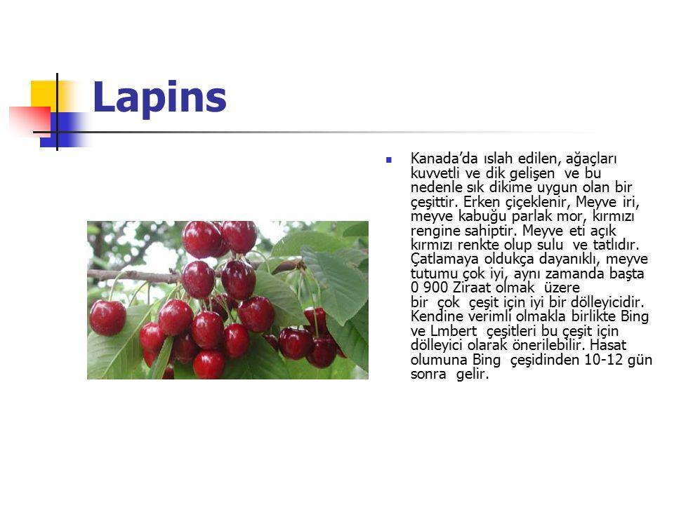 Lapins Kanada'da ıslah edilen, ağaçları kuvvetli ve dik gelişen ve bu nedenle sık dikime uygun olan bir çeşittir.