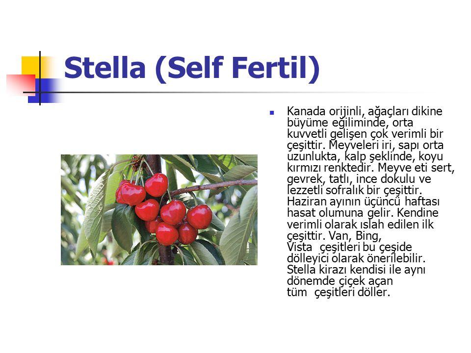 Stella (Self Fertil) Kanada orijinli, ağaçları dikine büyüme eğiliminde, orta kuvvetli gelişen çok verimli bir çeşittir.