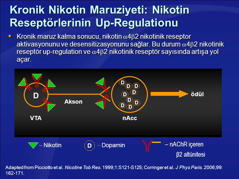 Kronik Nikotin Maruziyeti: Nikotin Reseptörlerinin Up-Regulationu  Kronik maruz kalma sonucu, nikotin  4  2 nikotinik reseptor aktivasyonunu ve des