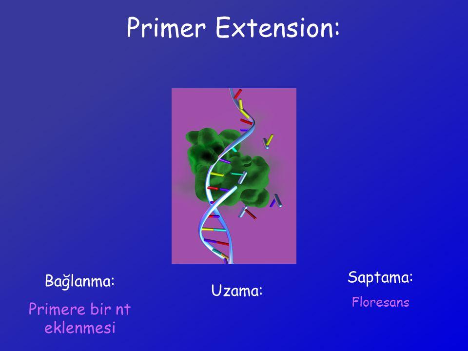 Primer Extension: Bağlanma: Primere bir nt eklenmesi Uzama: Saptama: Floresans