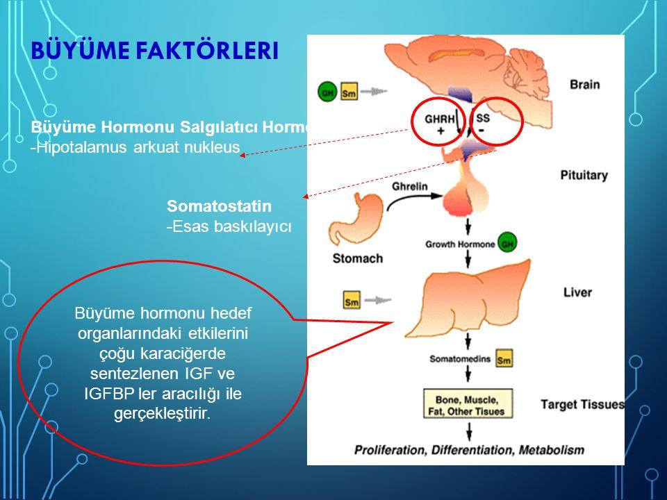 BÜYÜME FAKTÖRLERI IGF-1 -Peptit hormon -%80 karaciğerde sentez -Direkt büyüme kıkırdağına etki IGF-BP3 -Postnatal yaşamda en önemli bağlayıcı protein -Serbest IGF lerin IGF reseptörü ile etkileşimini sağlar -Serumda IGF-1, IGF-BP3,ALS (Asit labil subunit) kompleks halinde bulunur