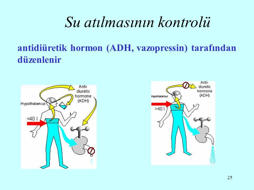 25 antidiüretik hormon (ADH, vazopressin) tarafından düzenlenir Su atılmasının kontrolü