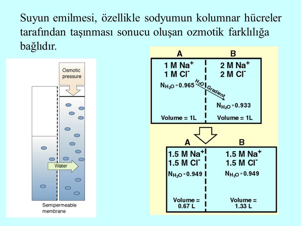 4 Suyun emilmesi, özellikle sodyumun kolumnar hücreler tarafından taşınması sonucu oluşan ozmotik farklılığa bağlıdır.