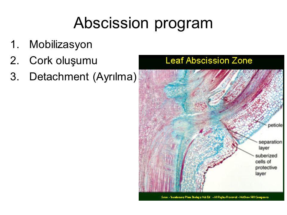 Abscission program 1.Mobilizasyon 2.Cork oluşumu 3.Detachment (Ayrılma)
