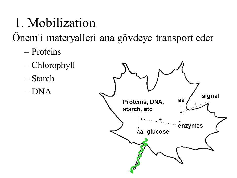 1. Mobilization Önemli materyalleri ana gövdeye transport eder –Proteins –Chlorophyll –Starch –DNA aa enzymes Proteins, DNA, starch, etc aa, glucose s
