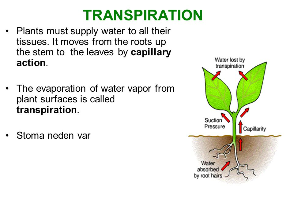 TRANSPIRATION Plants must supply water to all their tissues. It moves from the roots up the stem to the leaves by capillary action. The evaporation of